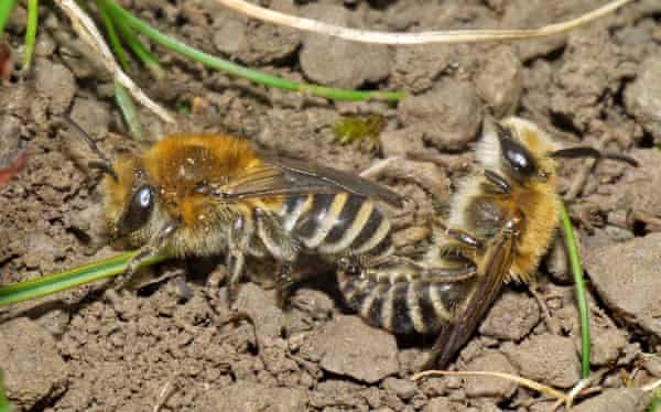 A male and female Colletes succinctus, a form of mining bee.