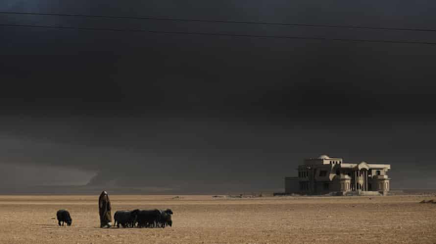 An Iraqi shepherd watches over his smoke-blackened sheep as they graze near Qayyarah