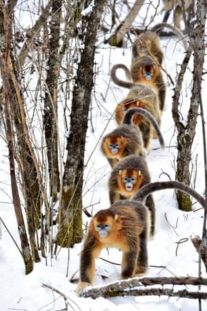 Shennongjia, China<br>Golden monkeys scamper through the snow at the Dalongtan Golden Monkey Research Center. The nature reserve is home to these rare animals which are on the verge of extinction