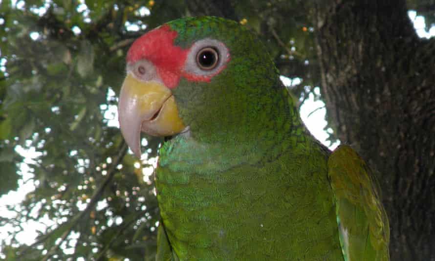 A male of the Amazona gomezgarzai species.