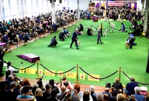 Bulldogs compete in breed judging during the 143rd Westminster Kennel Club dog show