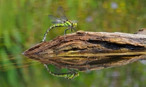 Southern Hawker (Aeshna cyanea) adult female, laying eggs in partially submerged rotting wood, Oxfordshire, England, August<br>Country Diary on 6 September : Southern Hawker (Aeshna cyanea) adult female, laying eggs in partially submerged rotting wood, Oxfordshire, England, August
