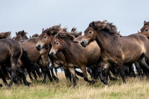 The annual gathering of the Tippbalake herd of Exmoor ponies at Brendon Common, UK.