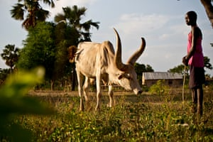 Helena looks after her family's cows, near her home in Rumbek