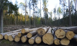 Logging in Białowieża Forest in Poland