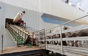 Sheep destined for the Middle East are loaded onboard the Al Messilah livestock vessel at the Fremantle wharf