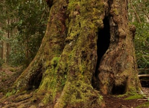 'Some find the old-growth forests too creepy' … a Maple in Albright Grove.