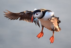An Atlantic puffin on the island of Skomer carries sand eels in its bill