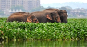 Wild Asian elephants - 50% didn't realised this species is endangered. The main threat facing Asian elephants is loss of habitat, which then results in human-elephant conflict.