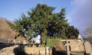 The Fortingall yew tree in Perthshire.