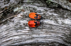 Two firebugs at a Russian nature reserve
