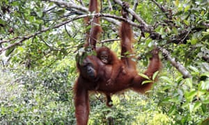 Hanging loose … this part of Borneo is home to more than 4,000 critically endangered orangutans