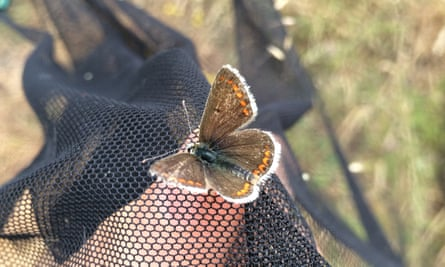 A brown argus butterfly.