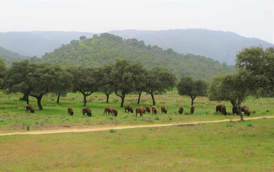 A herd of European bison in Spain, where there are now 35 centres breeding the animal.