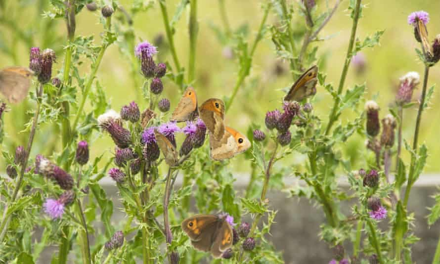Meadow brown butterflies. The British public is being asked to count numbers.