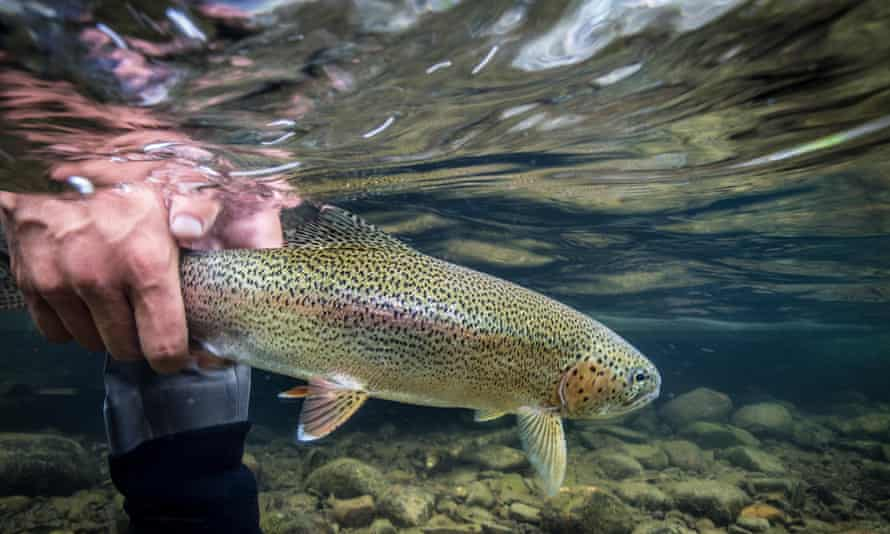 A rainbow trout being released back into the water.