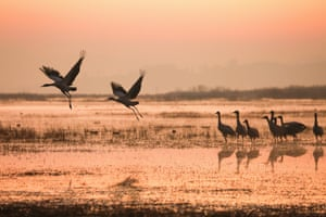Black-necked cranes at the Caohai national nature reserve in Guizhou province, China.