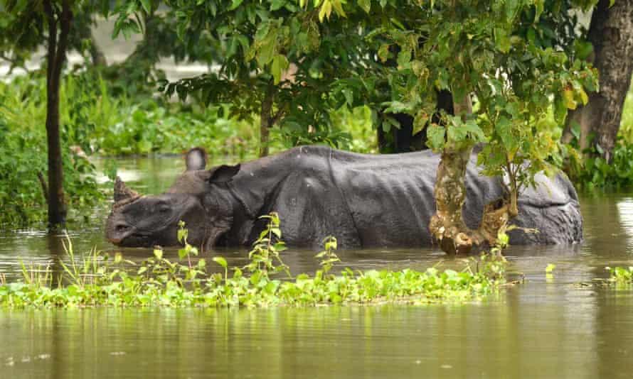 Swimming Rhino