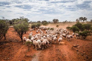 Feeding sheep in drought-stricken country near Louth, New South Wales.