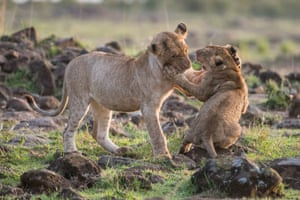 Lion cubs playing in the early morning light in the northern foothills of the Serengeti, at Masai Mara in Kenya.