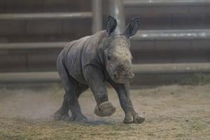 A southern white rhino calf runs around at the Nikita Kahn rhino rescue center in the San Diego zoo safari park. She was conceived through artificial insemination