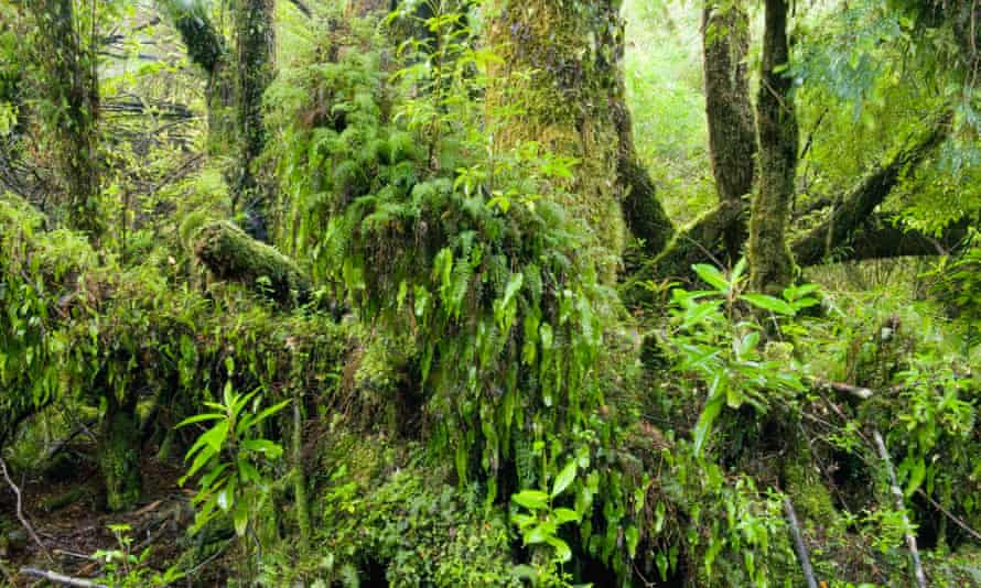 Mossy forest, Chiloé national park, Chiloe Island, Chile.
