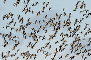 Flock of pink-footed geese in flight
