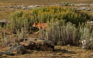 The Ethiopian wolf