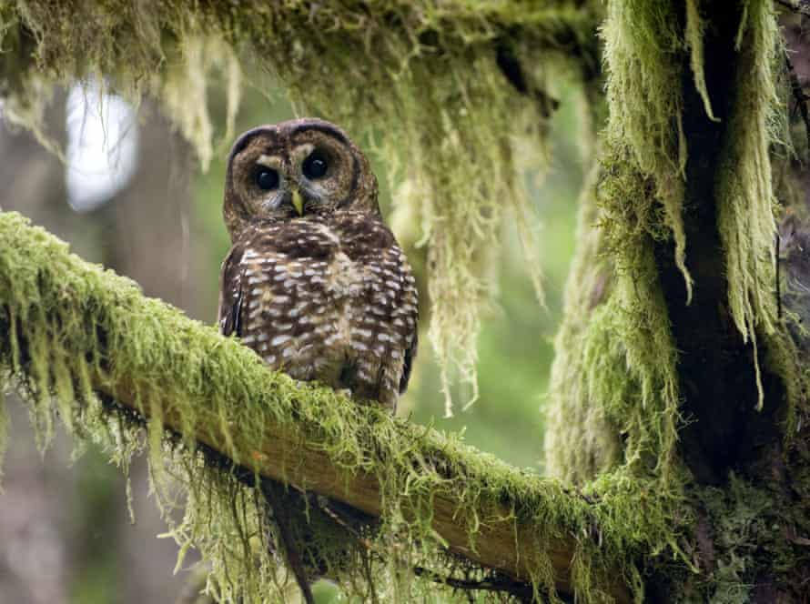 The northern spotted owl's territory stretches from old growth forests in southern British Columbia, through Washington, Oregon and into northern California.