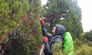 James Wood collects cones from a pencil pine in Tasmania