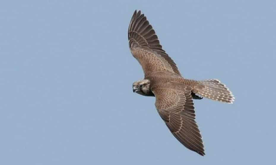 A young saker falcon bred on the wing