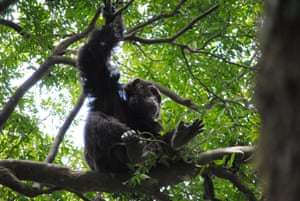 A chimpanzee will use a stick to winkle out a grub from the bark of a tree – Caledonian crows have the same ability