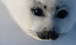 A harp seal pup in the Gulf of Saint Lawrence in Canada.