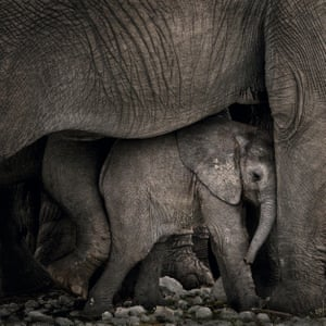 An infant elephant with the herd in Etosha national park, Namibia