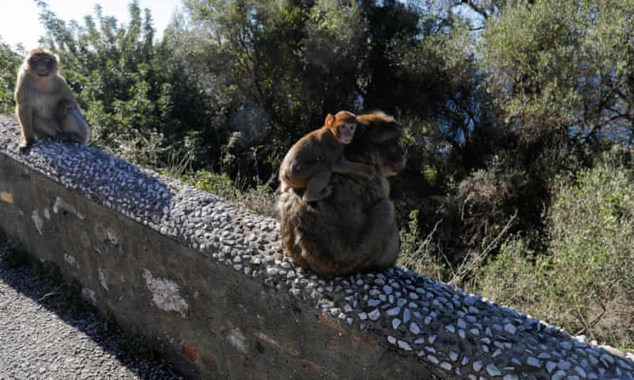 Macaques sitting on a wall at the top of the Rock of Gibraltar