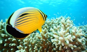 Reefs in the Gulf of Aqaba have never suffered a documented case of 'bleaching' due to high temperatures and increased acidification.