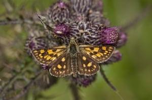 Chequered skipper butterflies