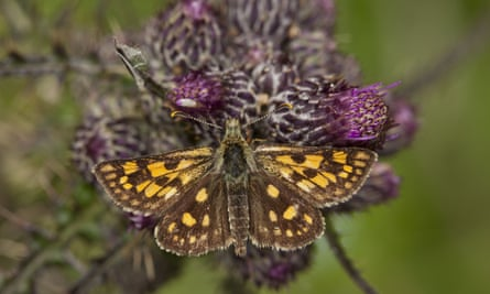 chequered skipper butterfly on a thistle