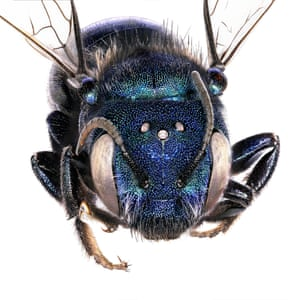 Mason bee's (Osmia sp.) 'crown', which is actually three additional eyes, called ocelli.