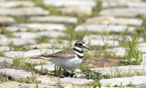 Eggs are seen below a nesting killdeer bird on a cobblestone path on the site of the Ottawa Bluesfest music festival on Monday.