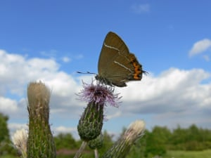 A White-Letter Hairstreak butterfly, as experts have said that the butterfly whose numbers have seen dramatic declines in recent years is breeding in Scotland for the first time in 130 years