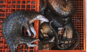 Pangolins seized by authorities in Belawan, Indonesia