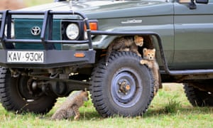 Cheetah cubs play on the wheel of a tourist safari jeep, Maasai Mara.