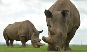 Najin and Fatu, the only remaining female northern white rhinos graze in their paddock at the ol-Pejeta conservancy in Nairobi, Kenya.