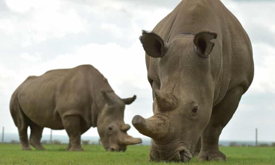 Najin and Fatu, the only remaining female northern white rhinos graze in their paddock at the ol-Pejeta conservancy in Nairobi, Kenya.