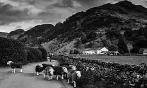A shepherd drives his flock down a road in Borrowdale.