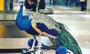 performance artist Ventiko's peacock Dexter in an airport
