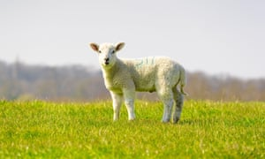 Young lamb isolated in field standing looking to camera. Perry Green, Much Hadham, Hertfordshire. UK2BC6HTP Young lamb isolated in field standing looking to camera. Perry Green, Much Hadham, Hertfordshire. UK