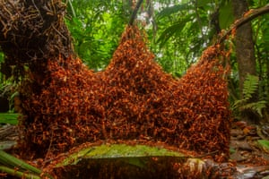 Invertebrates behaviour winner: The Architectural Army by Daniel Kronauer, US (picture taken in Costa Rica)