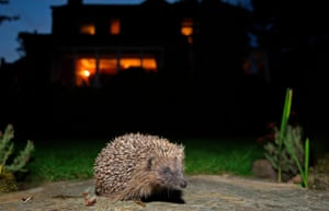 Female hedgehogs roam an average of 1km every night in search of insects and worms; males 2km.